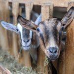 Découvrir la chèvre, un produit à la fois